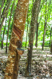 Tapping latex from a rubber tree closeup Stock Photos