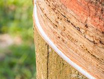 Tapping latex from a rubber tree. Royalty Free Stock Images