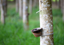 Tapping latex from a rubber tree Stock Image