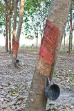 Tapping latex from rubber tree Royalty Free Stock Photo