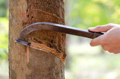 Tapping latex from a rubber tree. Royalty Free Stock Photos
