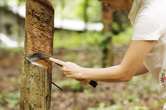 Tapping latex from the rubber tree Stock Photography