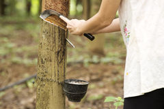 Tapping latex from the rubber tree Royalty Free Stock Photos