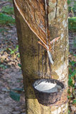 Tapping latex from the rubber tree Royalty Free Stock Images