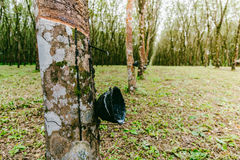 Tapping latex from a rubber tree, Thailand Royalty Free Stock Photos
