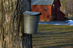 Tapping for Maple Syrup in Early Spring. Many farms still tap for maple syrup in early spring around March as a source of their income. The maple syrup industry Stock Photography