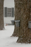 Tapping Maple Syrup in New England During Snowstorm Stock Photo