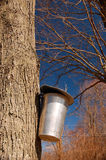 Tapping the Maple Tree Stock Image