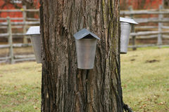 Tapping Maple Tree for Syrup Stock Images