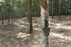 Tapping Rubber at Plantation Stock Images