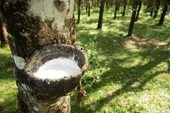 Tapping rubber, Rubber plantation lifes, Rubber plantation Background, Rubber trees in Thailand.green background. Tapping rubber, Rubber plantation lifes, Rubber Royalty Free Stock Photography