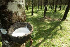 Tapping rubber, Rubber plantation lifes, Rubber plantation Background, Rubber trees in Thailand.green background. Tapping rubber, Rubber plantation lifes, Rubber Royalty Free Stock Photos