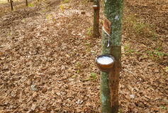 Tapping trees in forest Royalty Free Stock Photos