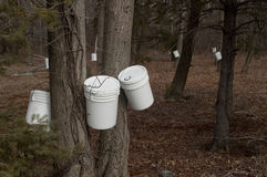 Tapping trees for maple syrup Royalty Free Stock Images