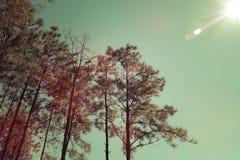 Tappning sörjer träd Arkivfoto