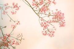 Tappningbakgrund för körsbärsröd blomning Arkivbild