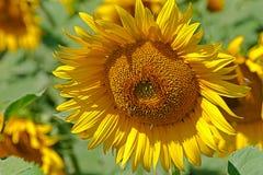 Tappningblick på solrosen Royaltyfri Bild