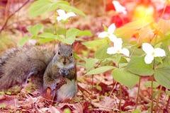 Tappningblickfoto Östliga Grey Squirrel gnagande muttrar, medan att sitta nära den vita trilliumen blommar Arkivbilder
