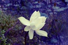 Tappningeffekt för vit lotusblomma Arkivbilder