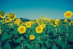 Tappningfält av solrosor Arkivfoto