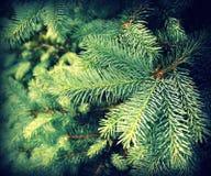Tappningfoto av filialgran-trädet Royaltyfria Foton
