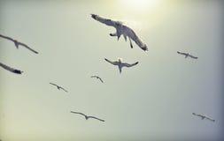 Tappningfoto av flygseagulls Royaltyfri Foto