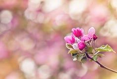 Tappningfoto av rosa blommor för äppleträd grunt djupfält Arkivbild