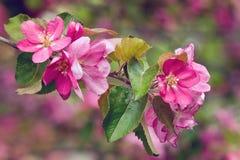 Tappningfoto av rosa blommor för äppleträd grunt djupfält Arkivfoto