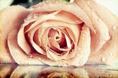 Tappningfoto av rosa färgrosen Fotografering för Bildbyråer