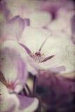 Tappningfotoet av rosa färger blommar (pelargon) med grund dof Royaltyfri Fotografi