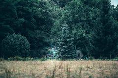 Tappninggungakuggen för barn mellan sörjer träd fotografering för bildbyråer