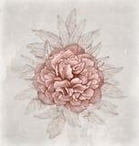 Tappningillustration av pionblomman Royaltyfri Foto