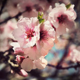 Tappningkort med körsbärsröda blomningblommor Royaltyfri Foto