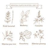 Tappningsamling av hand drog medicinska örter och växter, fälthorsetail, mullbärsträd, cannabis, siberian ärta-träd stock illustrationer