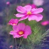 Tappningstil av rosa kosmosblommor fotografering för bildbyråer
