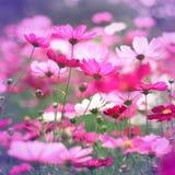 Tappningstil av rosa kosmosblommor royaltyfri bild
