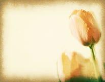 Tappningvykort, orange tulpan i trädgården, mjukt ljus på gammal pappers- texturstil Royaltyfria Foton