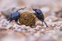 tappo degli scarabei stercorari che risolvono i problemi fotografie stock