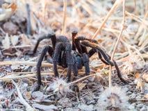 Tarántula de la araña en la tierra Fotografía de archivo libre de regalías
