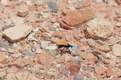 Tarántula Hawk Moving Along Rock foto de archivo libre de regalías