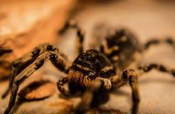 Tarántula rumana Wolf Spider Fotografía de archivo