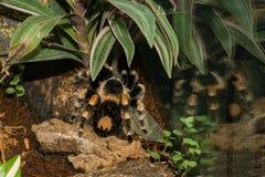 Tarántula venenosa de la tarántula de la araña Foto de archivo