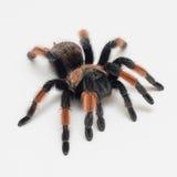 Tarântula da aranha no backgroud branco, Brachypelma Emilia imagens de stock