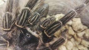Tarântula grande da aranha no cabinate Foto de Stock Royalty Free
