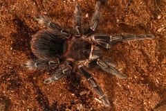 Tarântula preta mexicana de veludo, aranha venenosa peludo Fotografia de Stock