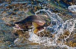 Tarłowy Humpback łosoś Przez gwałtownych lasowa rzeka Łowić w Kamchatka obraz royalty free