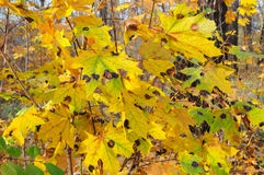 Tar black spot is one of the most readily visible and easiest maple diseases to diagnose. Maple tree leaf diseases Stock Images
