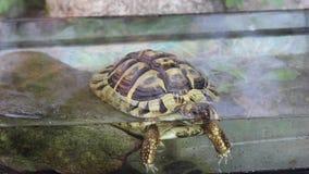 Tar den gamla grekiska sköldpaddan för pickolaflöjtår eller hermannÂs sköldpadda, ett bad stock video