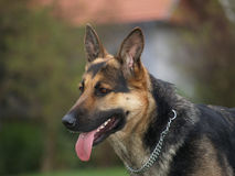 Tara. German shepard Stock Image