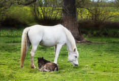 Tara with foal. The mare is grazing and the foal lie well protected under the mother Stock Photos